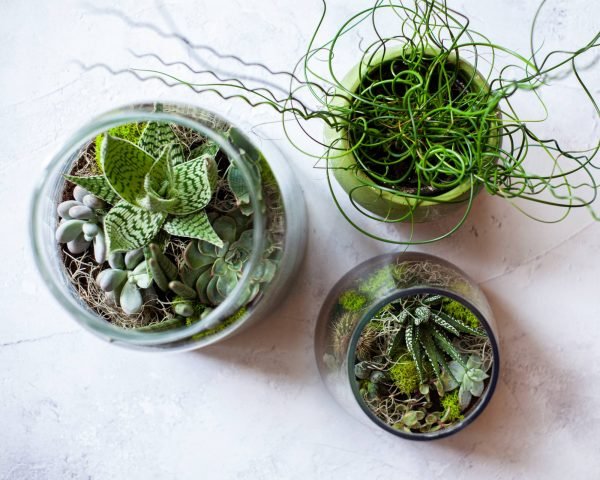 Persephone Violet Plant Subscription