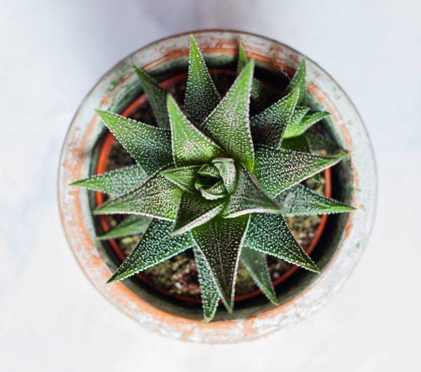 Persephone Violet Plant