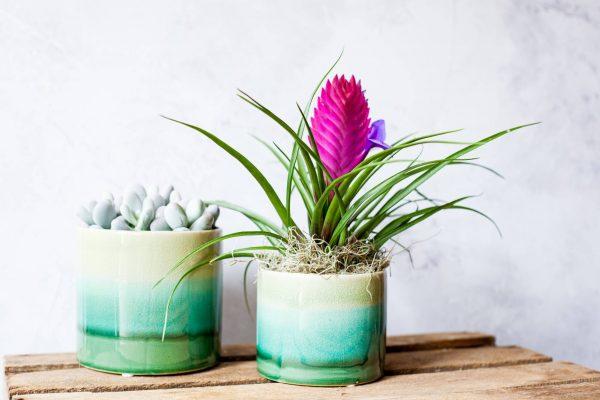 Persephone Violet Plants